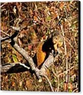 Eastern Fox Squirrel Canvas Print