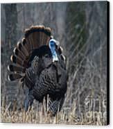 Jake Eastern Wild Turkey Canvas Print by Linda Freshwaters Arndt