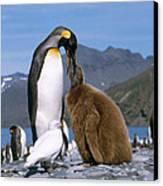 King Penguins Aptenodytes Patagonicus Canvas Print by Hans Reinhard