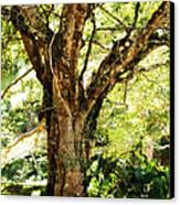 Kingdom Of The Trees. Peradeniya Botanical Garden. Sri Lanka Canvas Print