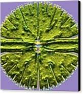 Micrasterias Desmid, Light Micrograph Canvas Print