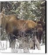 Moose Canvas Print by Jennifer Kimberly