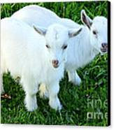 Pygmy Goat Twins Canvas Print by Thomas R Fletcher