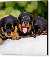 3 Rottweiler Puppies Canvas Print