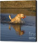 Yellow Labrador Canvas Print