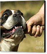Boxer Dog Canvas Print by Jean-Michel Labat
