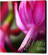 Christmas Cactus In Bloom Canvas Print