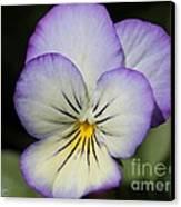 Viola Named Sorbet Lemon Blueberry Swirl Canvas Print by J McCombie