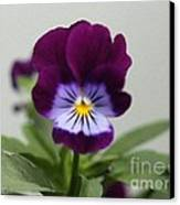 Viola Named Sorbet Plum Velvet Jump-up Canvas Print by J McCombie