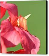 Dwarf Canna Lily Named Shining Pink Canvas Print by J McCombie