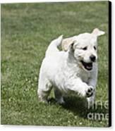 Golden Retriever Puppy Canvas Print by John Daniels