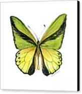 8 Goliath Birdwing Butterfly Canvas Print