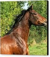 The Bay Horse Canvas Print