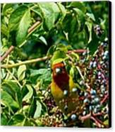 A Day With Mr. Tanager 2 Canvas Print by Jacquelyn Roberts