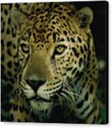A Jaguar On The Prowl Canvas Print by Steve Winter