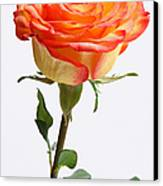 A Rose Is A Rose Is A Rose Canvas Print by Juergen Roth
