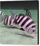 A School Of Sheepshead Feeding Canvas Print by Michael Wood