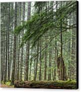 A Walk Through The Forest Canvas Print