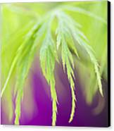 Acer Leaves Canvas Print by Tim Gainey