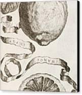 Adam's Apple Canvas Print by Cornelis Bloemaert