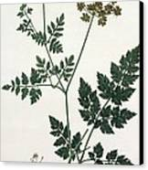 Aethusa Cynapium From Phytographie Canvas Print by L.F.J. Hoquart