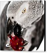 African Grey And Cherry  Canvas Print