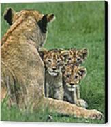 African Lion Cubs Study The Photographer Tanzania Canvas Print