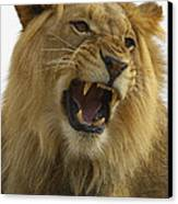 African Lion Male Growling Canvas Print by San Diego Zoo