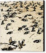 African Penguins Canvas Print by Oliver Johnston