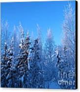 Alaska Sunrise Illuminating Spruce Trees Among Birches Canvas Print