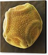 Alder Tree Pollen Grain, Sem Canvas Print