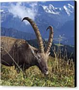 Alpin Ibex Male Grazing Canvas Print by Konrad Wothe
