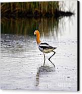 American Avocet Canvas Print by Al Powell Photography USA