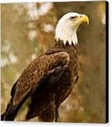 American Bald Eagle Resting Canvas Print by Douglas Barnett