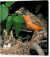 American Robin Feeding Its Young Canvas Print