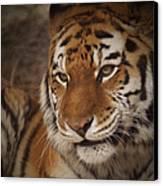 Amur Tiger 4 Canvas Print