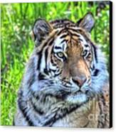 Amur Tiger 6 Canvas Print by Jimmy Ostgard