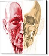 Anatomy Of A Male Human Head, With Half Canvas Print by Leonello Calvetti
