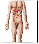 Anatomy Of Human Digestive System, Male Canvas Print