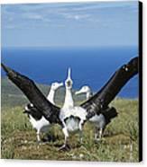 Antipodean Albatross Courtship Display Canvas Print