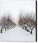 Apple Orchard Canvas Print by Ken Marsh