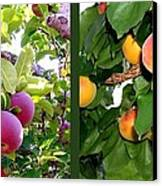 Apples And Apricots Canvas Print by Will Borden
