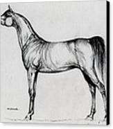 Arabian Horse Drawing 34 Canvas Print