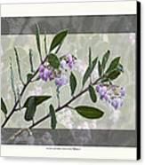 Arctostaphylos Manzanita 'monica' Canvas Print by Saxon Holt