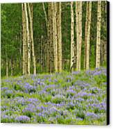 Aspen And Lupine Canvas Print