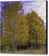 Aspen Goldrush Canvas Print by Tom Wilbert