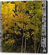 Aspen Light Canvas Print