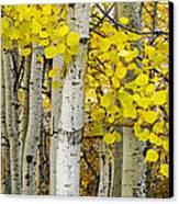 Aspens At Autumn Canvas Print by Andrew Soundarajan