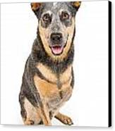 Australian Cattle Dog With Missing Leg Isolated On White Canvas Print