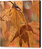 Autumn Acer Canvas Print